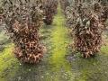 Frostschaden an Kirschlorbeer Caucasica