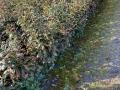 Frostschaden an Kirschlorbeer Novita