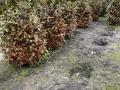 Frostschaden an Kirschlorbeer Rotundifolia