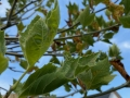Braune Blätter an Kugelplatane