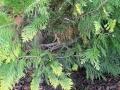 Scheinzypresse Ivonne mit braunen Nadeln