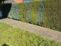 Mischhecke aus Thuja Brabant und Blauen Säulenzypressen