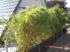 bambus_fargesia_jumbo_versch_grosen_5