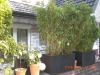 bambus_fargesia_jumbo_versch_grosen_92