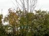 schmolke_crataegus-prunifolia-splendens-14-16