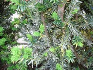 Grauschleier an Taxus / Eibenhecke – Krankheit oder Schädling?