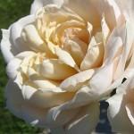 Rosa 'Lions-Rose ®' / Rose 'Lions-Rose'