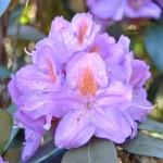 Rhododendron gehören zu den immergünen Pflanzen und sollten auch im Winter ausreichend Wasser bekommen