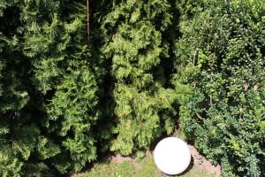Thuja Smaragd lassen Nadeln hängen – Ursachen und Gegenmaßnahmen