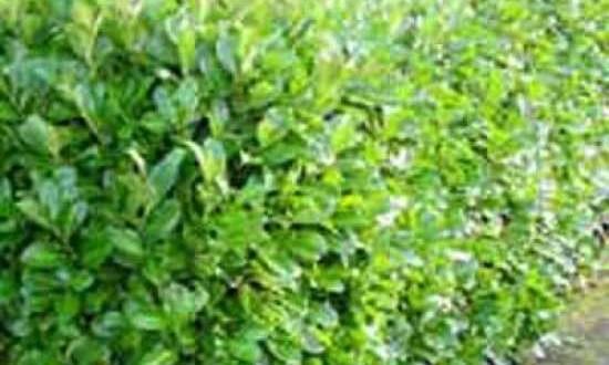 Kirschlorbeer Rotundifolia