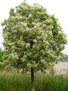 Manna-Esche - direkt nach dem Verpflanzen ist ein Rückschnitt notwendig