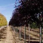 Ist für die Traubenkirsche Prunus virgiana 'Shubert' ein Bodenaustausch notwendig? (Vorher stand dort ein Apfelbaum)