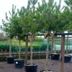 Sichtschutz für Terrasse gesucht – Welche Kübelpflanzen können 5m hoch werden?