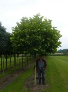Baum Mit Kugelkrone Als Sichtschutz Gesucht Empfehlungen Fragen
