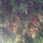 Lebensbäume / Thujen werden braun und sterben ab – Tipps?