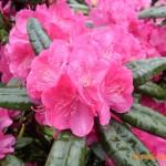 Robuste und winterharte Rhododendron für Standort in Bayern gesucht