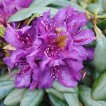 Mit Rhododendron kann man herrliche Farbakzente setzen