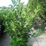 Kirschlorbeer Rotundifolia trägt nur wenige Früchte
