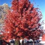 Ist der Rot-Ahorn 'Autumn flame' winterhart / frosthart und welche Ansprüche hat er an den Standort?