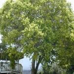 Cinnamomum camphora / Kampferbaum / Kampferlorbeer - immergrün aber nicht sehr winterhart