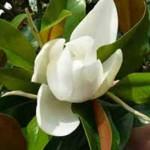 Magnolia grandiflora 'Galissonière' / Großblütige Magnolie 'Galissonière' - sehr winterhart, immergrün und hat eine außergewöhnlich schöne Krone