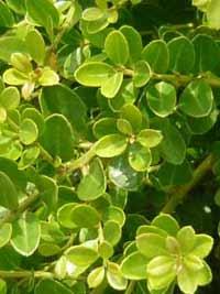 Ein wenig anfällige Alternative um Buchsbaum: Ilex Crenata Green Hedge