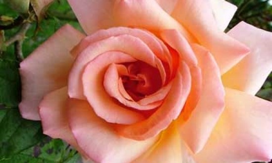 Rosa 'Compassion ®' / Kletterrose 'Compassion'