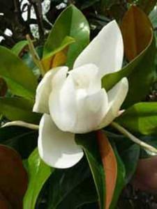 Die Magnolia grandiflora Gallissioniere ist sehr winterhart und auch als Hochstamm erhältlich