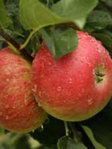 Apfelbaum Kaiser Wilhelm - sehr robust und wenig anfällig für Krankheiten / Schädlinge