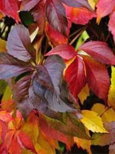 Mauer-Wein 'Engelmannii'  - wunderschöne Farben und perfekte Sichtschutz für Zäune