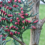 Rote Punkte an Thuja-Pflanze – Blüten oder Krankheit?
