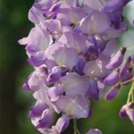 Blauregen Royal Purple blüht nicht – Tipps und Empfehlungen?
