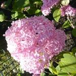 Riesen-Rispenhortensie 'Invincibelle' ('Pink Annabelle') - wunderschöne Blüte und auch für einen Stadtgarten gut geeignet