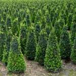Buchsbaum hat immer wieder mit Schädlingen und Krankheiten zu kämpfen