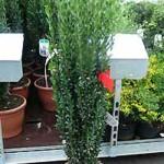 Ilex crenata 'Fastigiata' / Japanische Säulen-Stechpalme - ein schöne immergrüne und winterharte Kübelpflanze