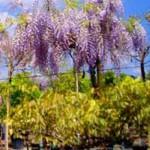 Wisteria sinensis 'Prolific' Dachform / Blauregen Dachspalier