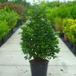 Prunus lusitanica 'Angustifolia' / portugiesischer Kirschlorbeer eignet sich gut als Kübelpflanze für Dachterrassen