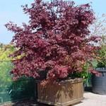 Acer palmatum 'Moonfire' / Japanischer Fächerahorn 'Moonfire' bietet eine  tolle Färbung im Jahresverlauf