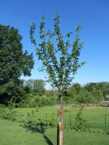 Prunus serrulata 'Kanzan' / Japanische Nelken-Kirsche
