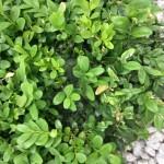 Buchsbaum mit Problemen - der Buchsbaumzünsler hat sich breit gemacht