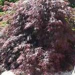 Acer palmatum Dissectum Garnet - toller Ahorn mit ganzjährig roter Belaubung