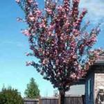 Befall durch den Monilia-Pilz: Rückschnitt der Zwergblutpflaume unvermeidbar