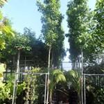 Liquidambar styraciflua 'Slender Silhouette' / Säulen-Amberbaum  - ein Tiefwurzler mit toller Herbstfärbung