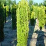 Taxus baccata 'Fastigiata Aurea' / Gelbe Säulen-Eibe  - bietet einen tollen Farbkontrast zu den sonst grünen Heckenpflanzen