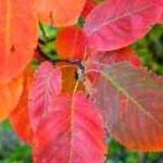 Blatt der Amelanchier canadensis / Kanadischen Felsenbirne mit einer tollen, roten Herbstfärbung