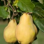 Die Echte Quitte - leckere Früchte, die vielfach verwendet werden können