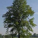 Die Tilia platyphyllos / Sommer-Linde ist etwas anspruchsvoller als die Winterlinde