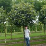 Befruchtung der Esskastanie – zweiter Baum notwendig oder selbstbefruchtend?