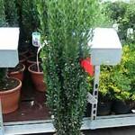 Ilex crenata 'Fastigiata' / Japanische Säulen-Stechpalme  - eignet sich gut als immergrüne Heckenpflanze im Kübel
