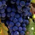 Der Herbst ist ein guter Pflanzzeitpunkt für den  Vitis 'Boskoop Glory' / Weintraube 'Boskoop Glory'